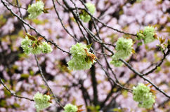 Double-flowered cherry tree at Ninnaji Temple, Kyoto Japan. The scene of pale green double-flowered cherry tree at temple's garden in Kyoto, Japan. pink cherry Stock Images