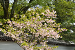 Double-flowered cherry tree at Ninnaji Temple, Kyoto Japan. The scene of double-flowered cherry tree at temple's garden in Kyoto, Japan Stock Photo