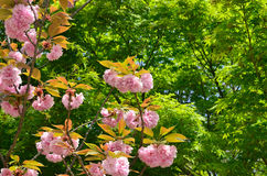 Double-flowered cherry tree at Ninnaji Temple, Kyoto Japan. The scene of double-flowered cherry tree at temple's garden in Kyoto, Japan, green background Stock Photos