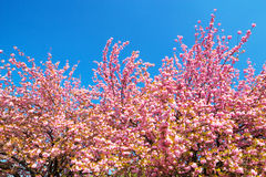 Double flowered cherry trees against clear blue sky Royalty Free Stock Photography