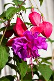 Double-flowered Fuchsia. Purple and pink double-flowered Fuchsia Stock Image