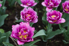Double-flowered lilac tulips Royalty Free Stock Photos