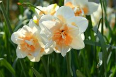 Double-flowered Narcissus Flower Parade, spring perennial plants of Amaryllidaceae amaryllis family.  stock images