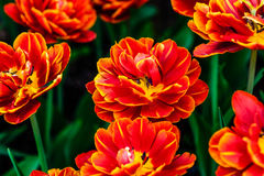 Double-flowered red tulips. Double-flowered red and yellow tulips on a flowerbed among green leaves and stems. Beauty of spring season Stock Photography