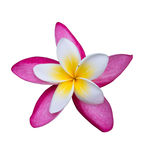 Double Frangipani flower. Isolated on white stock photo