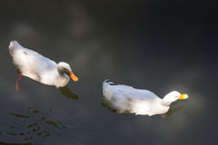 Double geese swimming in lake Stock Photography