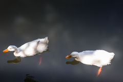 Double geese swimming in lake Stock Photos