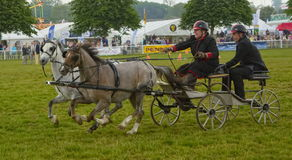 Double Harness Scurry Driving Stock Images