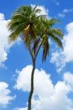Double-headed coconut tree on Tongatapu island in Tonga Royalty Free Stock Photography