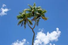 Double-headed coconut tree on Tongatapu island in Tonga Stock Image