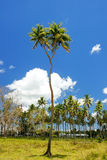 Double-headed coconut tree on Tongatapu island in Tonga Royalty Free Stock Images