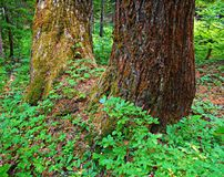 Double Hemlock. Double growth hemlock tree by Tule Lake - near Marion Forks, OR Stock Images