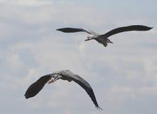Double heron take-off Royalty Free Stock Image