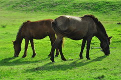 Double horse with enjoy on green meadow Royalty Free Stock Image