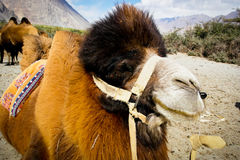 The double hump Bactrian camels Royalty Free Stock Photography