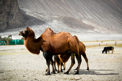 The double hump Bactrian camels stock image