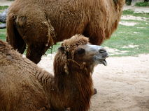 Double hump camel. Camelus bactrianus Stock Images
