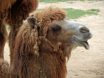 Double hump camel. Camelus bactrianus Stock Photography