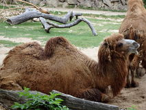 Double hump camel. Camelus bactrianus Royalty Free Stock Photos