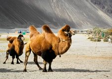 The double hump camels Stock Photos