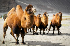 Double hump camels. In Ladakh, India Royalty Free Stock Images