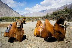 Double hump camels. In Ladakh, India Royalty Free Stock Photos