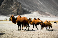 Double hump camels Stock Images