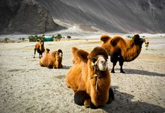 The double hump camels at Nubra valley Stock Images