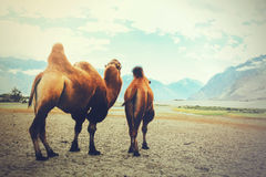 Double hump camels setting off on their journey in the desert in Nubra Valley, Ladakh, India stock image