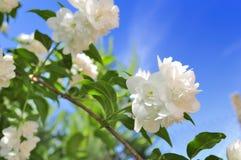 Double Jasmine Flowers on Blue Sky Background Stock Photos