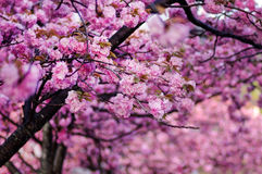 Double-layer Cherry Blossom. Pink Yae-zakura ; Double-layer Cherry Blossom Royalty Free Stock Photos