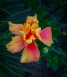 Double Layered Hibiscus royalty free stock photography