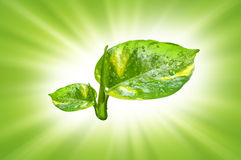 Double leaf with green rays background Stock Image