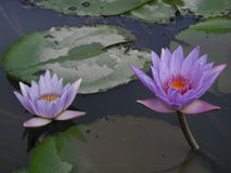 Double Lotus Stock Image