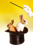 Double magic trick with rabbits Stock Photography