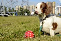 Double marble dachshund Stock Photos