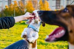 Double marbre de teckel Jeune chien énergique avec les promenades faites main de collier dans le pré photos libres de droits