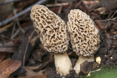 Double morels Stock Images