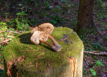 Double mushroom boletus lies on a stump Stock Image
