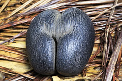 Free Double Nut Coco De Mer Stock Image - 53836301