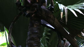 Double nut of Coco de mer. Vallee de Mai Nature Reserve in Praslin. Seychelles stock video footage