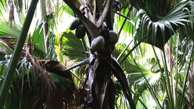 Double nut of Coco de mer. Vallee de Mai Nature Reserve in Praslin. Seychelles stock footage