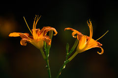 Double Orange flowers. Two orange flower in summer, bright colors, beautiful mood Stock Photography