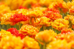 Double Orange Tulips Royalty Free Stock Photography