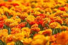 Double Orange Tulips Royalty Free Stock Images