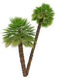 Double palm tree Stock Image