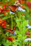 Double papillon Photographie stock