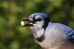 Double peanut Blue Jay Royalty Free Stock Images