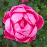 Double petal pink knockout rose Stock Photo