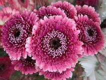 Double petaled pink gerbera flowers. Double petaled pink gerbera / Gerbera hybrida flower bouquet royalty free stock photography